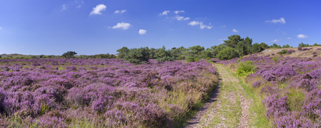 A path through blooming heather in the dunes of Schoorl, The Netherlands on a bright and sunny day.