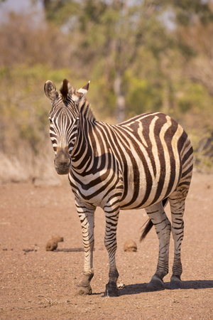 A Burchells zebra in Kruger National Park in South Africa.