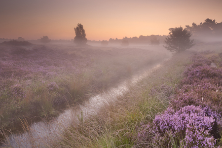 Blooming heather on a foggy morning at sunrise, photographed in The Netherlands.