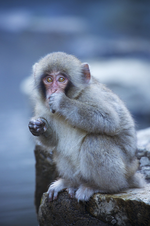A small snow monkey (Japanese macaque) sitting on the edge of the hot springs at Jigokudani Monkey Park.