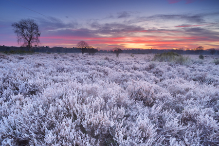 Frosted heather in winter, photographed just before sunrise near Hilversum in The Netherlands. Stok Fotoğraf
