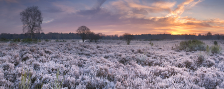 Frosted heather in winter, photographed at sunrise near Hilversum in The Netherlands. Фото со стока