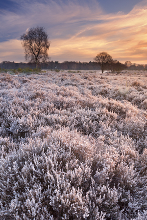 Frosted heather in winter, photographed at sunrise near Hilversum in The Netherlands. Reklamní fotografie