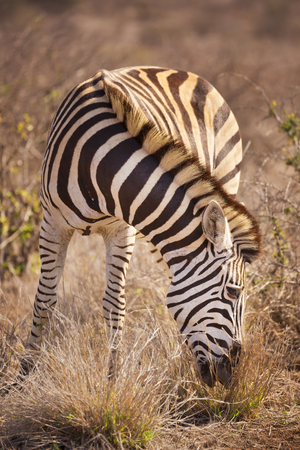 A grazing Burchells zebra in Kruger National Park in South Africa.