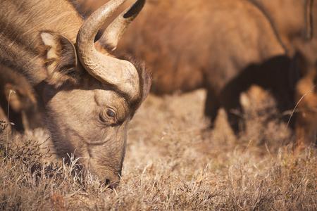 Close up of an African buffalo grazing in Addo Elephant National Park, South Africa. Reklamní fotografie