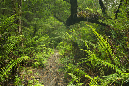 A path through lush temperate rainforest in the Garden Route National Park in South Africa. Stok Fotoğraf - 115938771