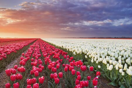 Rows of colourful tulips at sunrise near Alkmaar in The Netherlands. Stockfoto