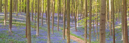 Un chemin à travers une belle forêt de jacinthes en fleurs. Photographié dans la forêt de Halle (Hallerbos) en Belgique. Banque d'images