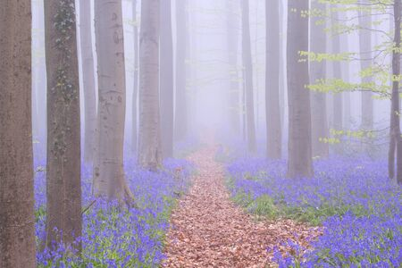 A path through a beautiful blooming bluebell forest. Photographed on a foggy morning in the Forest of Halle (Hallerbos) in Belgium.