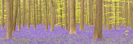 A beautiful blooming bluebell forest. Photographed in the Forest of Halle (Hallerbos) in Belgium.