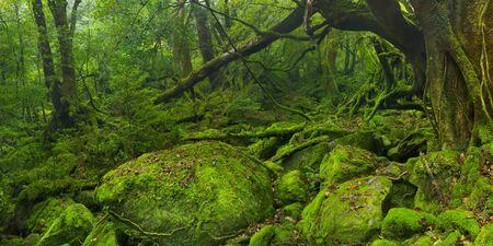 Üppiger Regenwald entlang des Shiratani Unsuikyo Trail (白谷雲水峡) auf der südlichen Insel Yakushima (屋久島), Japan. Standard-Bild