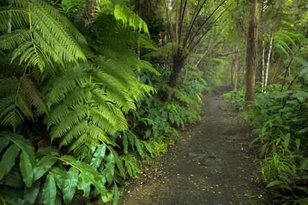 Lush rainforest along the trail in the Kilauea Iki trail in Volcanoes National Park, Big Island Hawaii, USA.