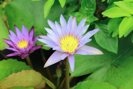 in bloom: Lotus flower bloom