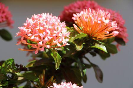 geranium color: Ixora flower in garden summer season Stock Photo