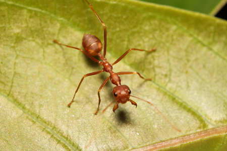 antrey: Ant working in the green tree , summer season Thailand Stock Photo