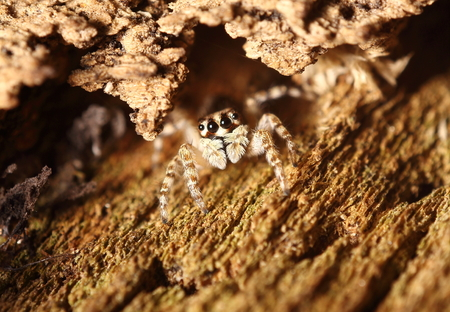 hairy legs: Small jumping spider live in the green garden Thailand Stock Photo