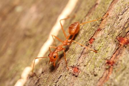 hormiga hoja: Pequeños insectos y bichos en el jardín Tailandia