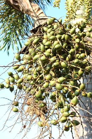 dactylifera: Red Palm fruit in Thailand