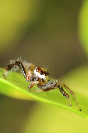 salticidae: Jump spider on tree in the garden Thailand