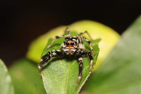 evarcha: Small jump spider in summer season Thailand