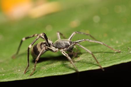 wood spider: Small jump spider in summer season Thailand