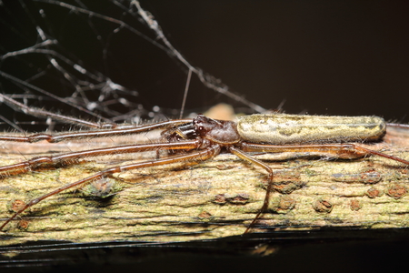 arcuata: Small jump spider in summer season Thailand