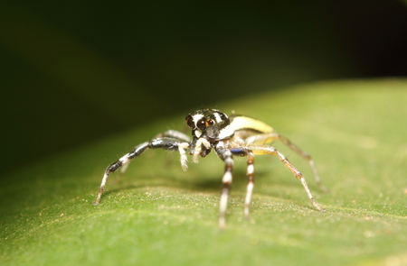 arachnophobia animal bite: Jump spider on tree Stock Photo