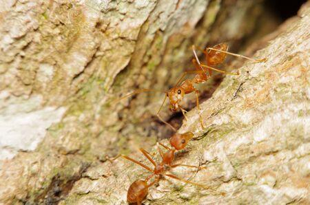 hormiga hoja: Pequeña hormiga en la hoja verde y el árbol Foto de archivo