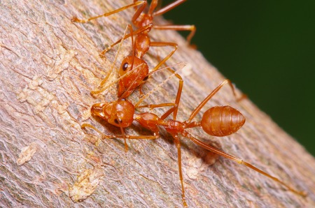 WEAVER: Red ant working on tree in garden