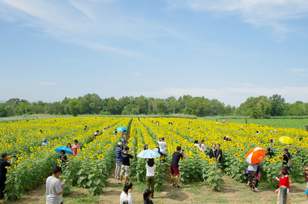 Rayong Thailand , December 5 - 2016 : peoples come to travel at sunflowers farm and take photos at Rayong Thailand