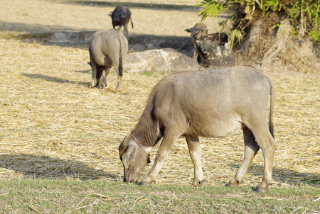 Udorn Thani province Thailand , Feb. 25 - 2018 : Thai buffalo eating grass on rice farm in Thailand.