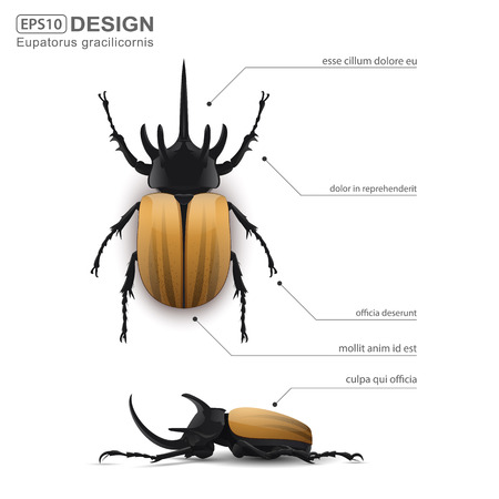 Eupatorus gracilicornis beetle infographic,vector