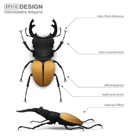 Odontolabis elegans beetle infographic,vector