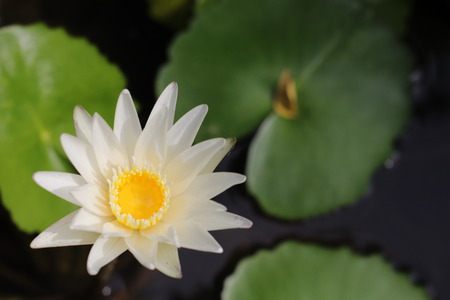 White Lotus Flower and Leaf background water
