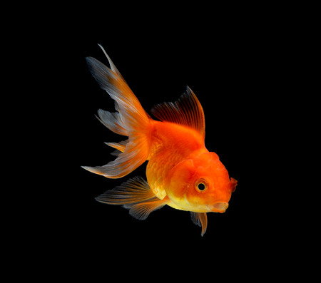 jelly head: gold fish isolated on black background