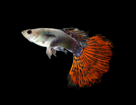 guppy: Beautiful Guppy Isolated on Black Background Stock Photo