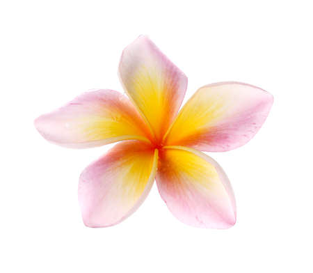 plumeria on a white background: flowers frangipani (plumeria) isolated on white background. Stock Photo