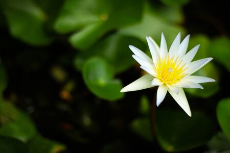 blooming: blooming lotus