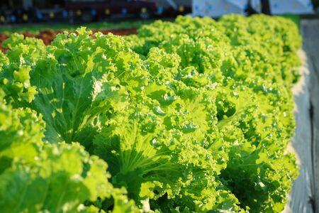 lactuca: Lactuca sativa grow in field plant Stock Photo