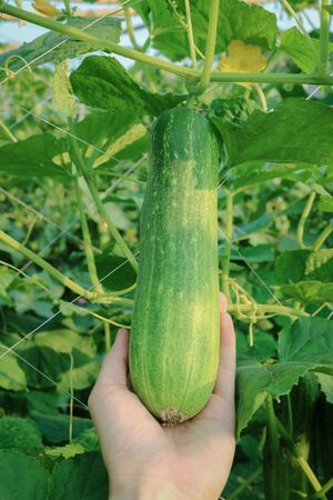 pick: Man hand pick and harvest cucumber in plant