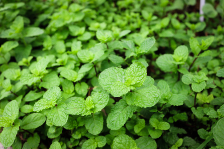 Kitchen Mint growth in garden.