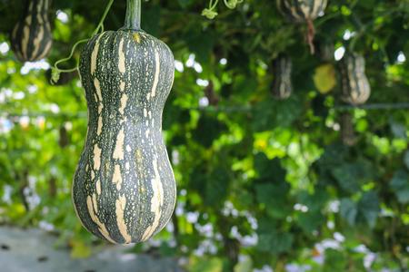 mini farm: Butternut pumpkin growing in field plant.