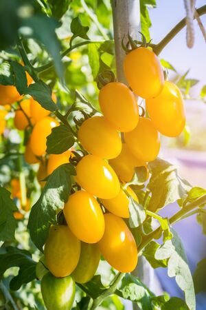 tomate de arbol: Close up yellow cherry tomato growing in field plant agriculture farm.