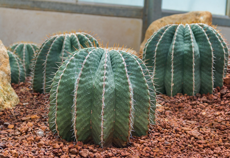 Group of cactus on gravel growing in greenhouse. Stock Photo