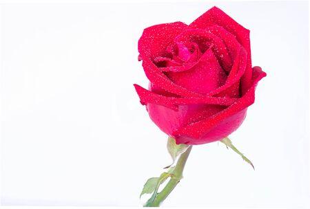 roses rouges: Roses rouges sur un fond blanc pour la Saint-Valentin Banque d'images
