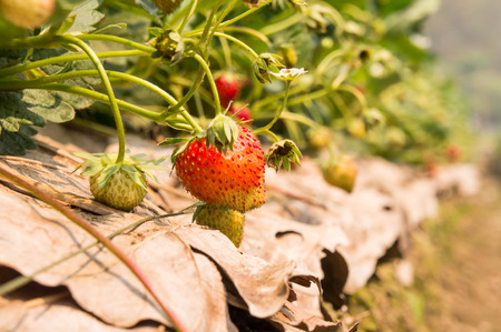 plant antioxidants: Strawberry aromas are pictures taken from the garden.