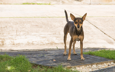 poor light: Are you looking for a stray dog standing on the cement floor. Focus Page Dog The background is blurred and poor light. Stock Photo