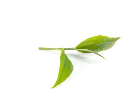 green backgrounds: Green tea leaves on white background.