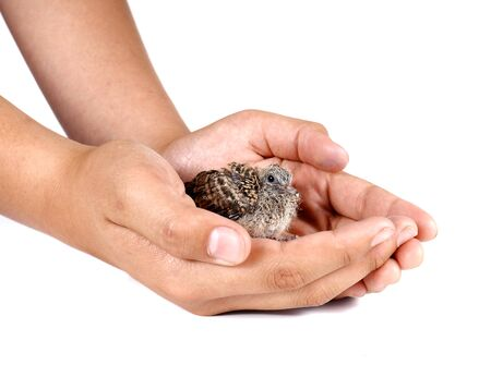 baby birds: Baby birds in hand isolated on white background. Stock Photo