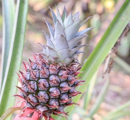 pineapple tree: pineapple tree in garden organic. Stock Photo